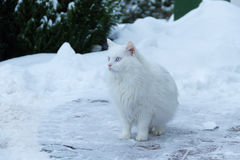 White Kanze in the snow Stock Images