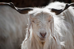 White kashmir goat from Indian highland farm Royalty Free Stock Images