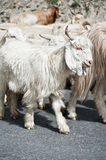 White kashmir goat from Indian highland farm Stock Photo