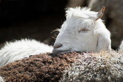White kashmir goat from Indian highland farm Stock Image