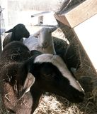 White Katahdin ewe lamb eating hay. While surrounded by others Stock Image