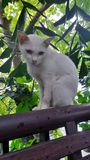 White Khao Manee cat sitting on the terrace rail Royalty Free Stock Photos