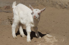 White kid goat. White baby goat on a farmyard Stock Photography