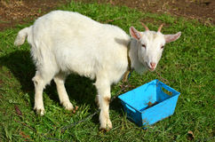 White kid goat Royalty Free Stock Photo