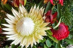 White King Protea flower Stock Photo