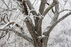 White kingdom. Spreading tree with beautiful icy branches in snowy forest royalty free stock photography