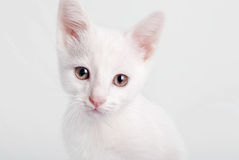 White kitten Stock Image