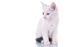 White Kitten Royalty Free Stock Photo
