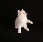 White kitten Stock Photography