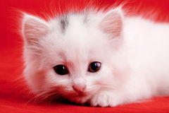 White kitten. Portrait of a white kitten with a red background Royalty Free Stock Photos