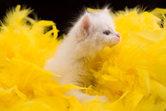 White kitten. Portrait of a white kitten with a yellow background Royalty Free Stock Images