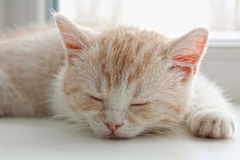 White kitten Stock Photography