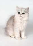 White kitten Stock Images