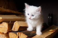 White kitten. White little kitten in village stock photography