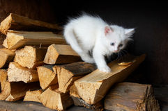 White kitten. White little kitten in village royalty free stock images