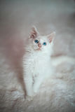White Kitten Stock Photo