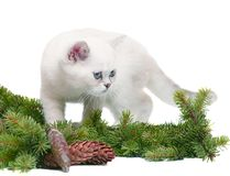 White kitten. With fur-tree branches and cones. A with a fur-tree on a white background Stock Photography