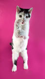 White kitten agressive teenager with black spots  standing on pi Royalty Free Stock Image