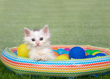 White kitten in a backyard swimming pool Stock Photos