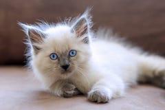 White kitten. White Balinese kitten laying on couch Royalty Free Stock Image