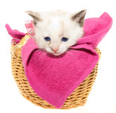White kitten in a basket Royalty Free Stock Photography