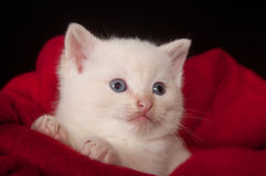 White kitten in basket Stock Image