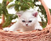 White kitten in a basket. A kitten looking downwards, in a basket decorated with fur-tree branches Royalty Free Stock Image