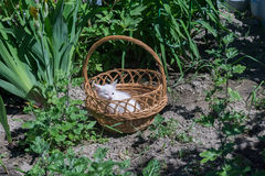 White Kitten in the Basket Royalty Free Stock Photography