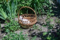 White Kitten in the Basket Stock Image