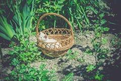 White Kitten in the Basket Retro Royalty Free Stock Photo