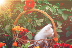 White Kitten in Basket and Roses Retro Stock Photo