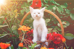 White Kitten in Basket and Roses Retro Royalty Free Stock Photos