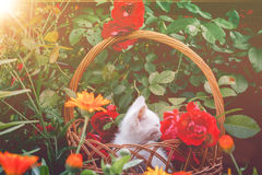 White Kitten in Basket and Roses Retro Royalty Free Stock Photography