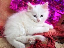 White kitten. Beautiful white kitten posing for photo Royalty Free Stock Photos