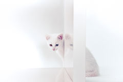 White kitten behind bookshelf Stock Images