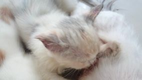 White kitten being breastfed stock video footage