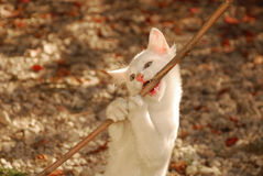 White Kitten Biting on Stick. A 12 week old playful kitten biting on a twig in the dappled autumn sunlight royalty free stock images