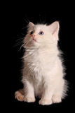 White kitten on black Royalty Free Stock Photos