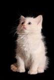 White kitten on black Royalty Free Stock Photos
