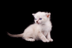 White kitten on black. A cute little cat on black background Stock Image