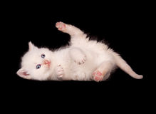 White kitten on black background Stock Photo