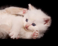 White kitten on black background Stock Image