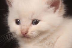 White kitten on black background Stock Images