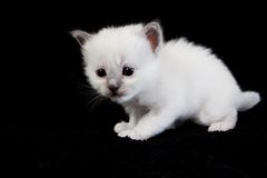 White kitten  on black Stock Image