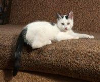 White kitten with black spots lying Stock Images