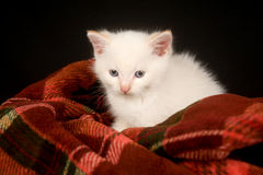 White kitten on a blanket Royalty Free Stock Image
