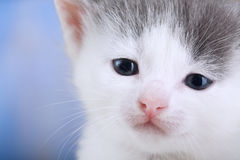 White kitten on a blanket comfortable Close-up Stock Images