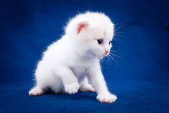 White kitten on a blue background Stock Photo