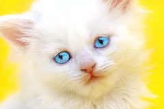White kitten with blue eyes. On a yellow background Stock Image