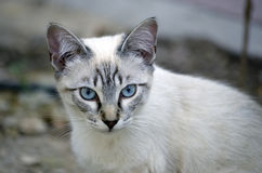 White kitten with blue eyes Royalty Free Stock Image